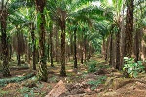 Regenwald Palmöl
