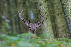 Rothirsch Artenschutz
