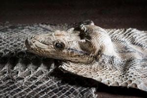 Kering will künftig Pythons aus nachhaltiger Beschaffung verwenden