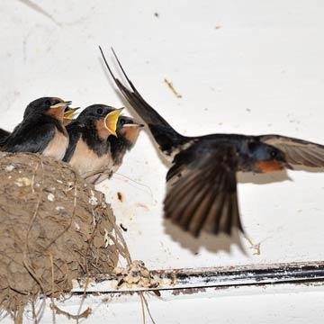 Schwalben beim Nestbau mit Lehmpfützen unterstützen