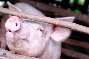 Pest Schwein Schweinepest