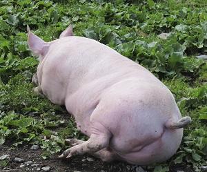 Schwein Landwirtschaft