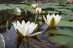 Die glänzende Seerose ist vom Aussterben bedroht © Wilhelma