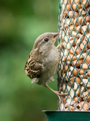 Vögel freuen sich im Winter über Futter ©Jens Gade/ iStock