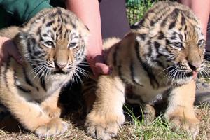 Tigernachwuchs
