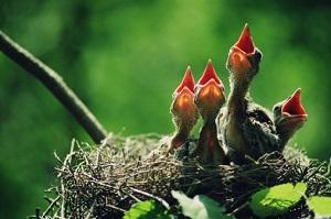 Vogelbabys ohne Mutter sind nicht unbedingt in Gefahr. ©Top Photo Corporation/Top Photo Group/Thinkstock