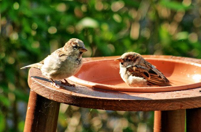 Zwei Spatzen im Vogelbad