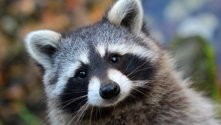 Verbreitung invasiver Arten, wie der Waschbär, soll verhindert werden