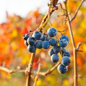 Die Winzer sind mit den Trauben dieses Jahres zufrieden ©iStock/Patrick Poendl