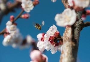 Wildbienen sind als Pflanzenbestäuber unverzichtbar. fotokostic/iStock/Thinkstock Photos
