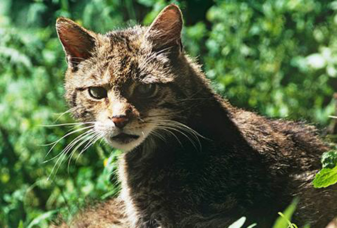 Preisträger Green Tec Award Sonderpreis WWF geht an Wildkatzenprojekt aus Hessen