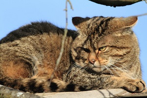 Wildkatzen NRW