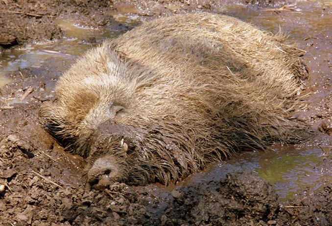 Wildschwein schläft im Schlamm