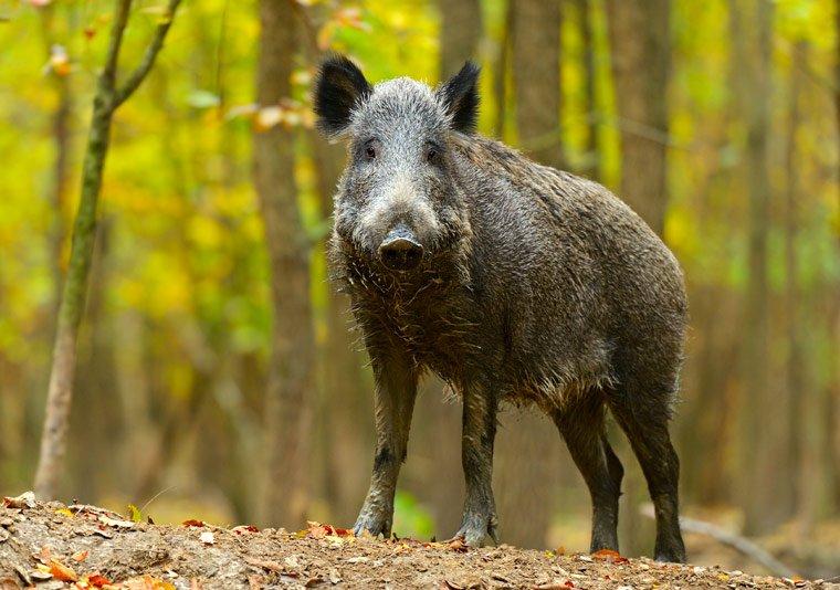 Aufruf zu verstärkter Wildschweinjagd
