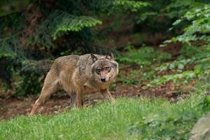 Der Wolf ist in Gefahr. © RobChristiaans/iStock/Thinkstock