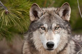 Internetportal zum heimischen Wolf
