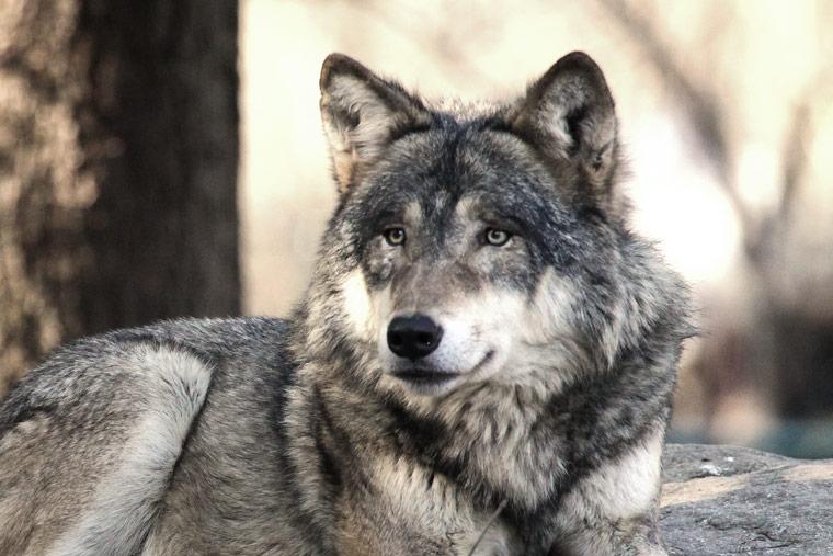 Wolf im hessischen Biebertal gesichtet und fotografiert