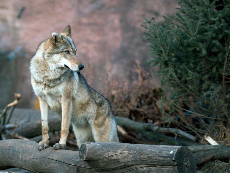 Wolf im Odenwald gesichtet