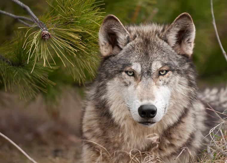 Alle Informationen zum Wolf in Deutschland
