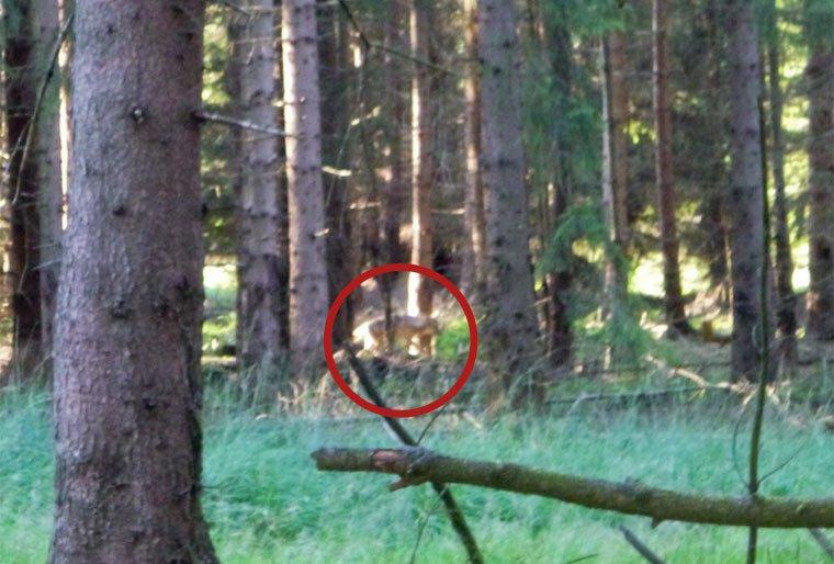 Möglicherweise Wolf im Reinhardswald gesichtet