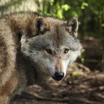 Länderübergreifendes Wolfsmanagement vereinbart
