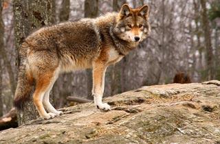 Erneute Wolfssichtung: Droht uns Gefahr?