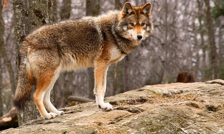 Lange galt der Wolf in Deutschland als ausgerottet. Inzwischen siedeln sich einige Rudel wieder hier an.