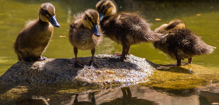 Wenn Entenküken ohne Zugang zu einem Gewässer schlüpfen, sollte man sich wie das Bundesministerium verhalten.