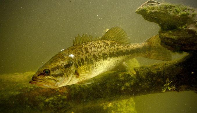 Der Flussbarsch in natürlicher Umgebung des Flusses zwischen Laubbaum und Gestein © GtLaudGirl (iStock / thinkstock)