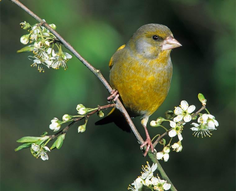 Grünfink – Stunde der Wintervögel