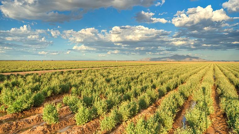Die Guayule-Pflanze wächst in Wüstenregionen und könnte bald für die Reifenproduktion eingesetzt werden