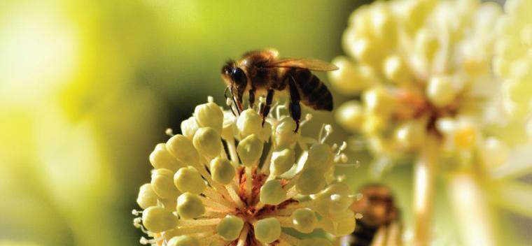 Das neue IFOAM Imkerei Forum will die Öko-Imkerei fördern, um die Honigbiene vor dem Aussterben zu bewahren