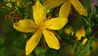 Johanniskraut ist Arzneipflanze 2015