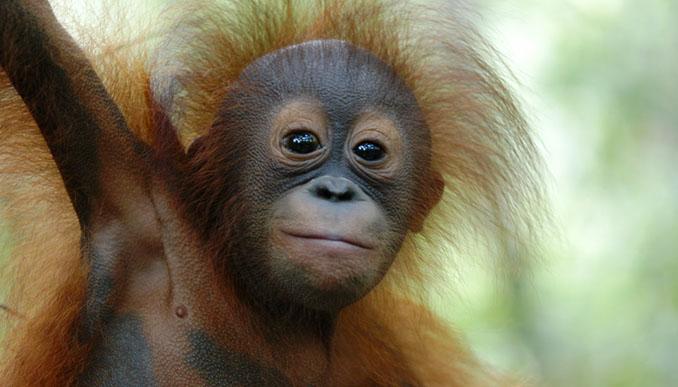 Die Lebensräume von Orang-Utans sind gefährdet © BOS Deutschland e.V.