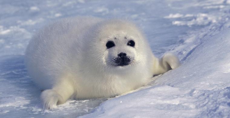 es ist zu warm im Winter, die Robben brauchen Schnee und Eis zum Überleben.