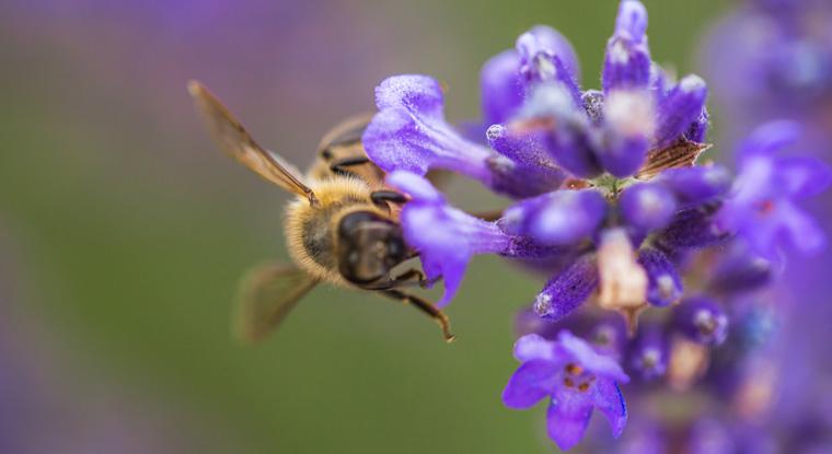 Schutz der Bienen ist wichtig für Obst- und Weinbau