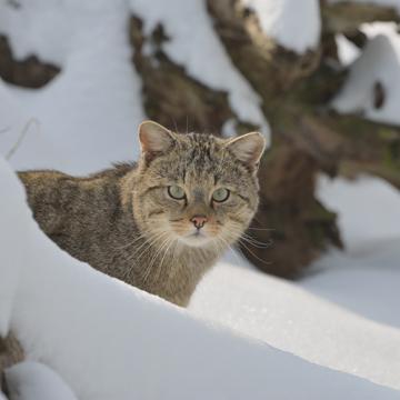 Die Wildkatze breitet sich in Deutschland aus