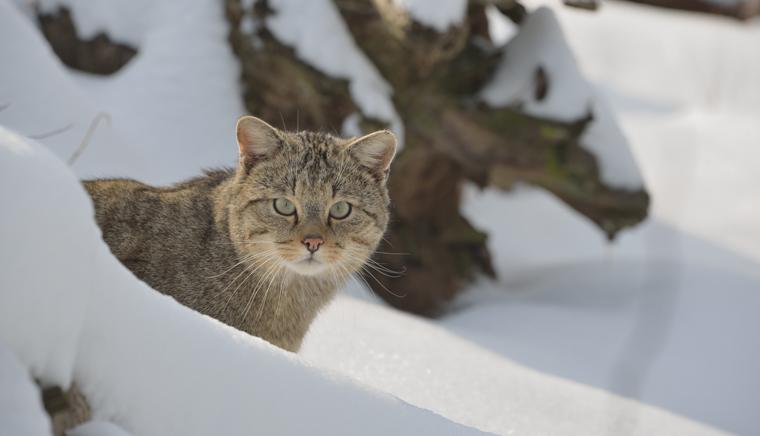 In einigen Regionen Deutschlands hat sich die Wildkatze schon wieder angesiedelt