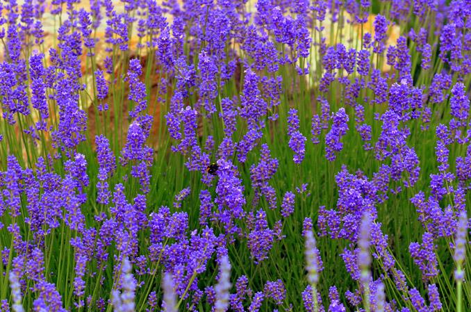 Lavendelfelder wunderschön und wohlriechend © Moni Sertel, pixelio.de