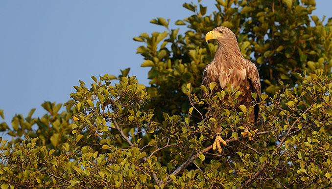 Adler sitzt im Baum