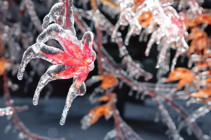 Frost Eisblumen Ahorn