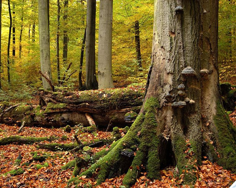 Fünf Waldgebiete in Deutschland bilden das Welterbe.