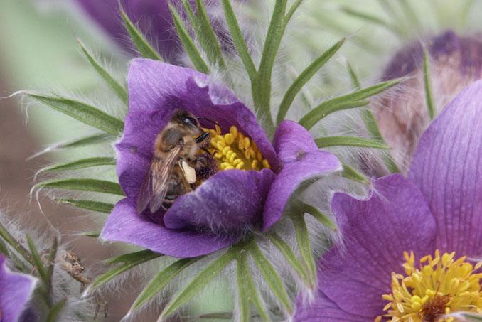 Die Bienen sind unter anderem durch Pestizide massiv gefährdet © HiPP