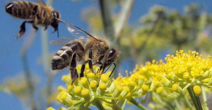 Bienensterben rettet die Bienen