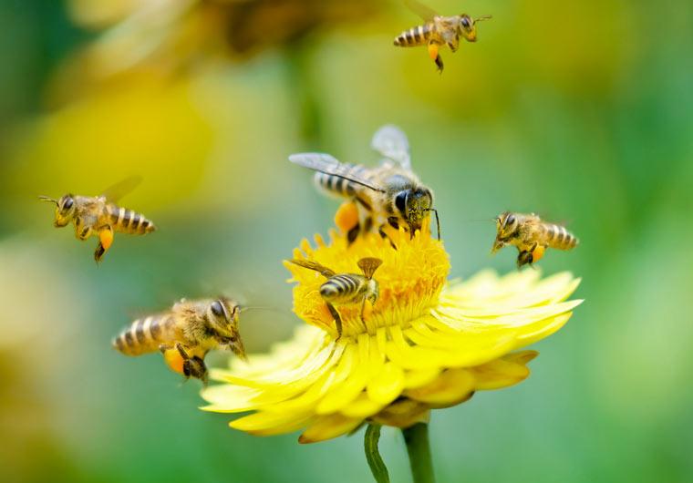 """Honigbienen """"erwirtschaften"""" 153 Milliarden Euro"""