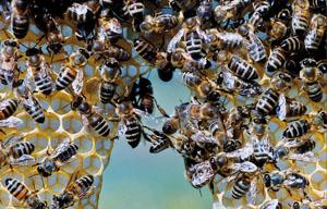 Die Bienen sind eine der wichtigsten Nutztiere, da sie die Blüten bestäuben © HiPP