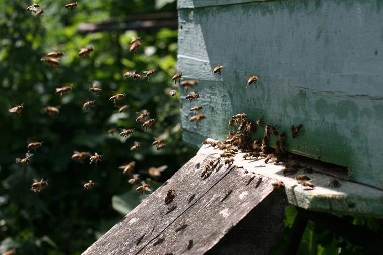 Ist die Handystrahlung Schuld am massenhaften Bienensterben