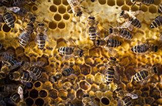 Die Honigfabrik - die Wunderwelt der Bienen