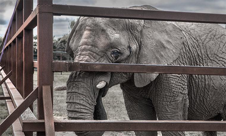 Schluss mit dem Verkauf von Elefanten an Zoos und Zirkusse