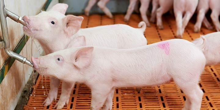 Schweinehochhäuser: Eine neue Dimension der Fleischproduktion